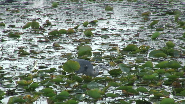 fishing heron 4 - hd 1080/60i - great blue heron stock videos and b-roll footage