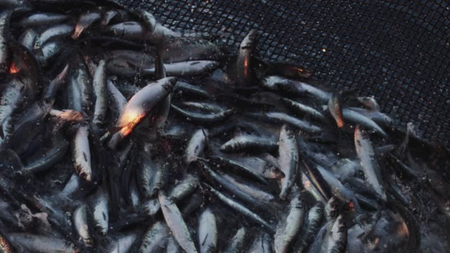 fishing industry: huge catch of fish in the net - catching stock videos & royalty-free footage