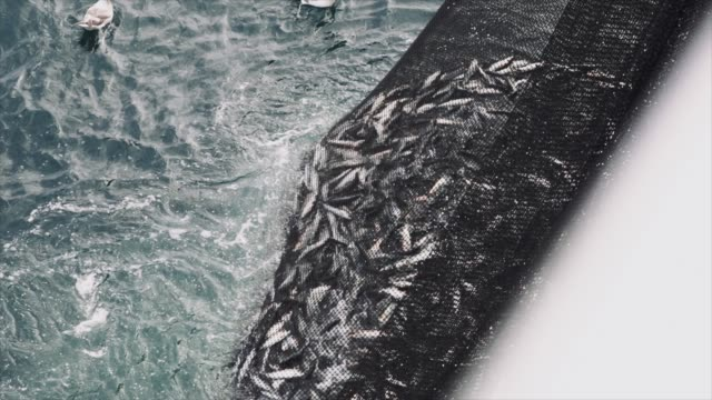 vídeos de stock e filmes b-roll de fishing industry: huge catch of fish in the net - pescador