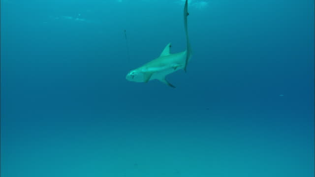 Fishing line, shark on hook, underwater, Bahamas