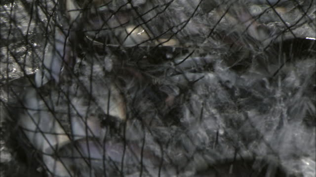 fishing net full of herrings in alaska, usa - fishing net stock videos & royalty-free footage