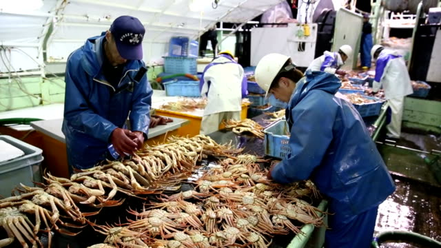 fishing season for snow crab a seasonal delicacy of winter was opened on november 6 in the sea of japan from toyama prefecture and westward as this... - toyama prefecture stock videos and b-roll footage
