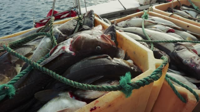 fishing skrei cod in the arctic sea - fishing industry stock videos & royalty-free footage