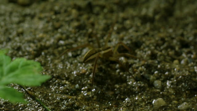 fishing spider (dolomedes sulfureus) moving, gangwon province, south korea - animal abdomen stock videos and b-roll footage