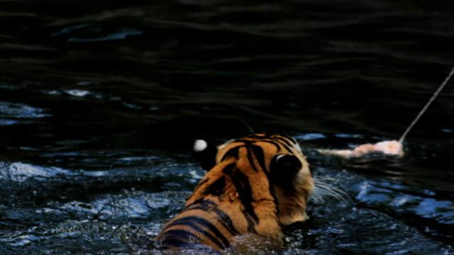 Angeln tiger