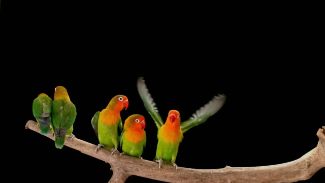 slo mo five agapornis parrots sitting on a branch and then flying into the air - cinque animali video stock e b–roll
