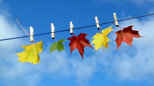 vídeos y material grabado en eventos de stock de cu, five autumn maple leaves hanging on clothesline against blue sky, cape breton island, nova scotia, canada - pinza de colgar la ropa
