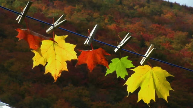 vídeos y material grabado en eventos de stock de cu, five autumn maple leaves hanging on clothesline, cape breton island, nova scotia, canada - pinza de colgar la ropa