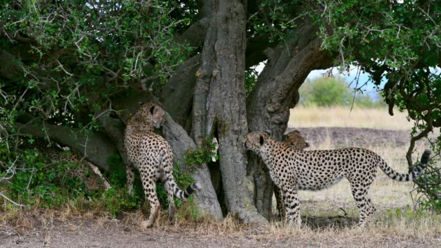 five cheetah brothers cheetah scratches tree,  masai mara national reserve, kenya, africa - animal attribute stock videos and b-roll footage