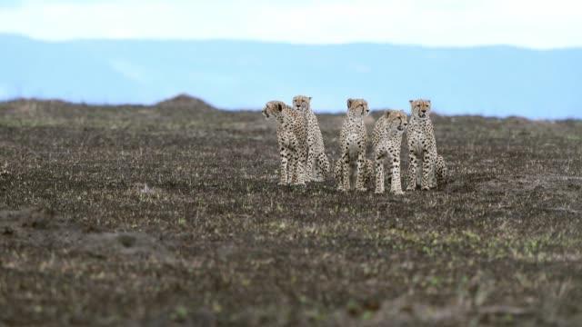 five cheetah brothers watching , maasai mara, kenya, africa - animal attribute stock videos and b-roll footage