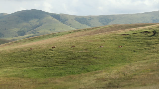 five cows walking on the hill. small group of animals going back home after grazing - small group of animals stock videos & royalty-free footage