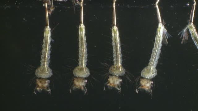 five culicine mosquito (culex sp) larvae feeding, uk - disease vector stock videos & royalty-free footage