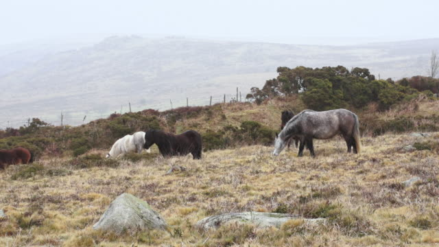 ms five different colored ponies grazing in field at mountain in foggy skies / dartmoor, england, united kingdom - wiese video stock e b–roll