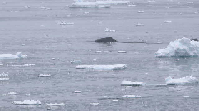 five humpback whales travelling slowly through icy waters - antarctica whale stock videos & royalty-free footage