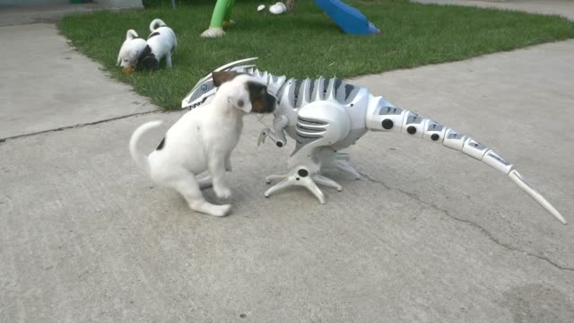 vidéos et rushes de five jack russell terrier puppies fight a fearsome roboraptor. if you thought they'd be afraid of this robot raptor dinosaur, think again. they start... - mignon