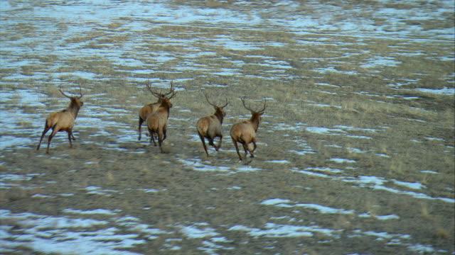 WS TS Five large bull Elk running through field / Denver, Colorado, USA