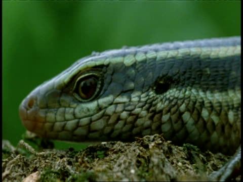 cu five lined skink, eumeces fasciatus, head in profile, western ghats, india - animal markings stock videos & royalty-free footage