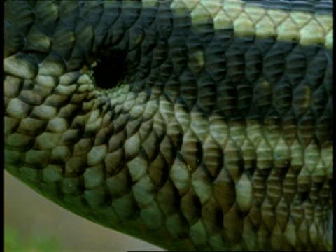 stockvideo's en b-roll-footage met cu five lined skink, eumeces fasciatus, head in profile, western ghats, india - vachtpatroon