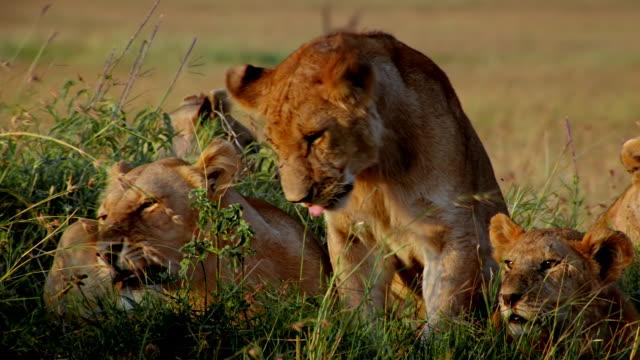 cu pan five lions laying down on small grassy mound / masai mara, kenya - medium group of animals stock videos & royalty-free footage