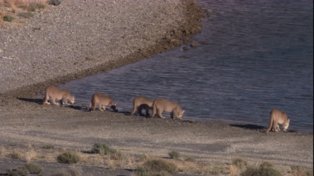 five pumas drink at the edge of a lake. available in hd. - adolescence stock videos & royalty-free footage