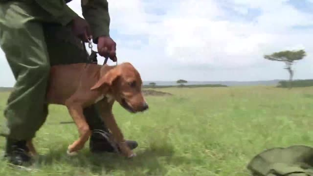 Five puppies are being trained by American experts to join a tracker dog unit which has become pivotal in the fight against poaching in Kenya's Mara...