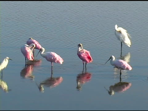 five spoonbills and an egret - preening animal behavior stock videos & royalty-free footage