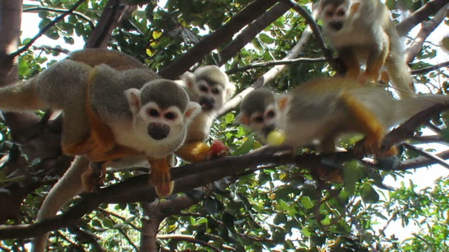 five squirrel monkeys - group of animals stock videos & royalty-free footage