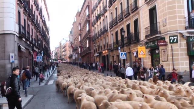 vídeos de stock e filmes b-roll de five thousand sheep were herded through the centre of madrid as part of the 21th transhumance festival to encourage livestock raising in madrid spain... - mamífero ungulado