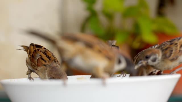 vídeos de stock e filmes b-roll de cinco pardal de fome na tigela - cinco animais