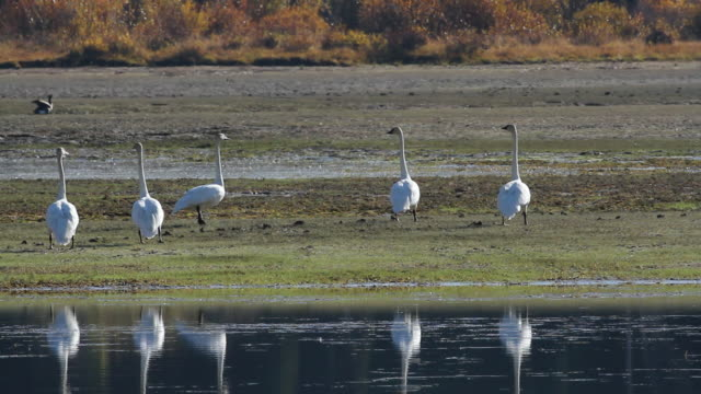MS TS Five trumpeter swans taking off at Snake River / Tetons, Wyoming, United States