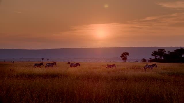 stockvideo's en b-roll-footage met ws five zebras walking left to right across grassy plain at sunset / masai mara, kenya - vlakte