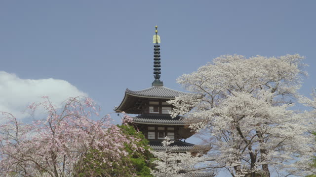 Five-story pagoda and cherry blossoms at Adachigahara park
