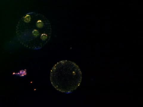 a flagellate algae, volvox, rotating - animale microscopico video stock e b–roll