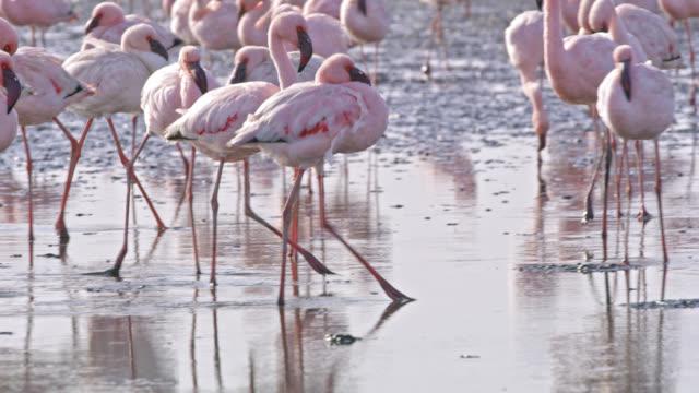 vídeos de stock, filmes e b-roll de ms flamboyance de flamingos em piscina de água ensolarada, namíbia, áfrica - pelicano