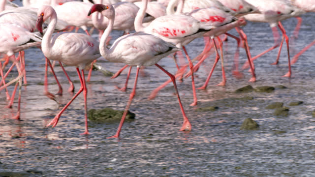 ms flamboyance of flamingos at water pool,namibia,africa - flamingo bird stock videos & royalty-free footage
