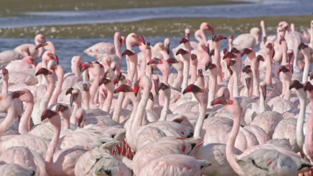 ms flamboyance of flamingos flocking at sunny pool,namibia,africa - pelican stock videos & royalty-free footage