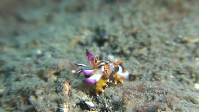 cu zi zo flamboyant cuttlefish hatchling / lembeh strait, sulawesi, indonesia  - flamboyant cuttlefish stock videos and b-roll footage