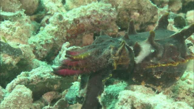 flamboyant cuttlefish (metasepia pfefferi) hunting and catching prey, kapalai, sipadan, borneo - flamboyant cuttlefish stock videos and b-roll footage