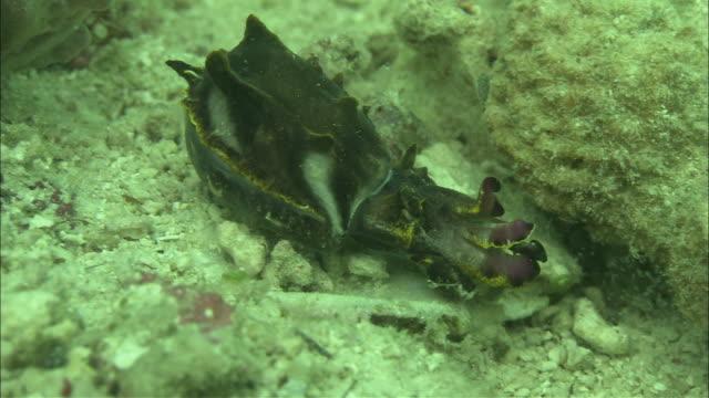 flamboyant cuttlefish (metasepia pfefferi) hunting, kapalai, sipadan, borneo - flamboyant cuttlefish stock videos and b-roll footage