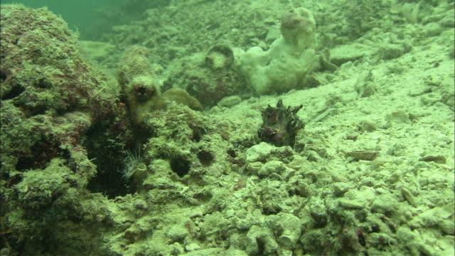 flamboyant cuttlefish (metasepia pfefferi) hunting, walking on hand like tentacles, kapalai, sipadan, borneo - flamboyant cuttlefish stock videos and b-roll footage