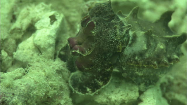 flamboyant cuttlefish (metasepia pfefferi), kapalai, sipadan, borneo - flamboyant cuttlefish stock videos and b-roll footage