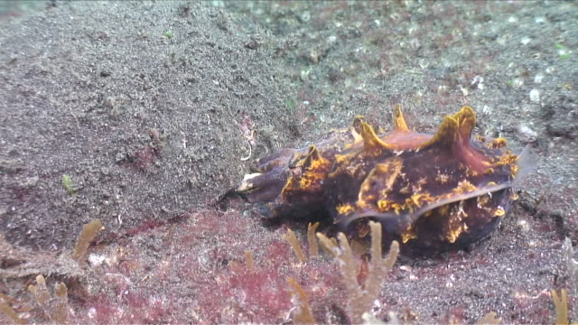ms zi zo flamboyant cuttlefish laying eggs / lembeh strait, sulawesi, indonesia  - flamboyant cuttlefish stock videos and b-roll footage