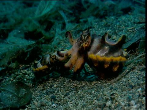 flamboyant cuttlefish mating, papua new guinea - flamboyant cuttlefish stock videos and b-roll footage