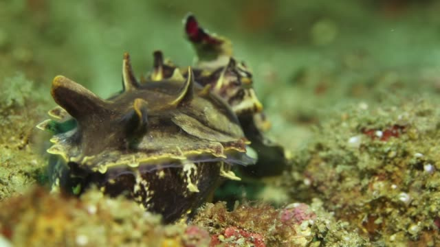 a flamboyant cuttlefish performs hypnotic dance in the seabed - flamboyant cuttlefish stock videos and b-roll footage