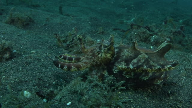 flamboyant cuttlefish - flamboyant cuttlefish stock videos and b-roll footage