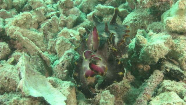 flamboyant cuttlefish (metasepia pfefferi) walking on hand like tentacles, kapalai, sipadan, borneo - flamboyant cuttlefish stock videos and b-roll footage