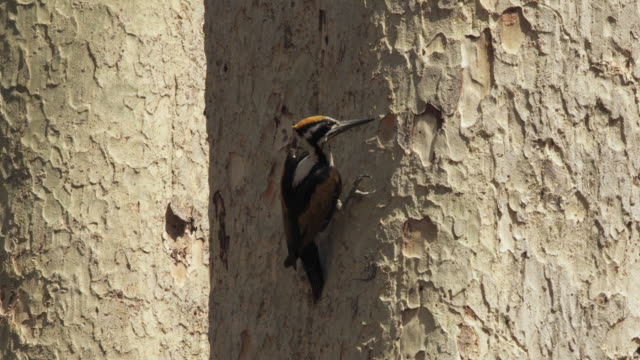 ws flame backed woodpecker (dinopum species) pecking at bark on tree trunk / madhya pradesh, india - madhya pradesh stock videos and b-roll footage