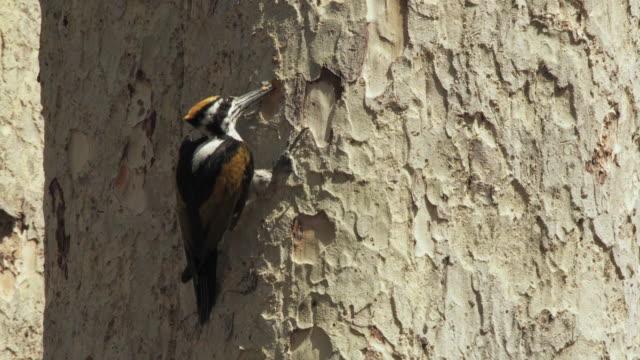 ms flame backed woodpecker (dinopum species) pecking at bark on tree trunk / madhya pradesh, india - woodpecker stock videos & royalty-free footage