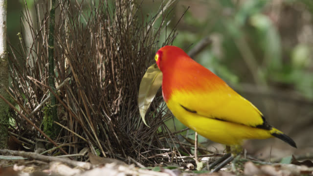 flame bowerbird adds leaf to bower - bird's nest stock videos & royalty-free footage