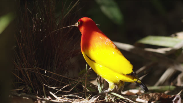 flame bowerbird adds stick to his bower - ecosystem stock videos & royalty-free footage